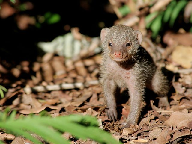 It's only fitting that our first instagram post is an adorable #mongoose! Our researchers are workin