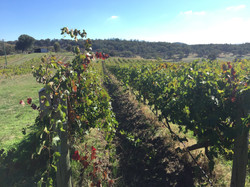 Vinelea Winery Rows