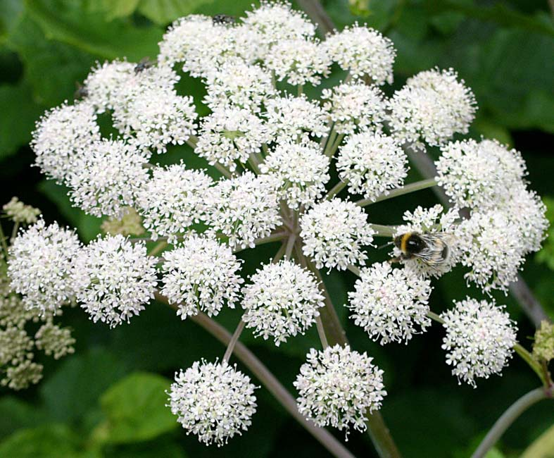 015 cowparsley