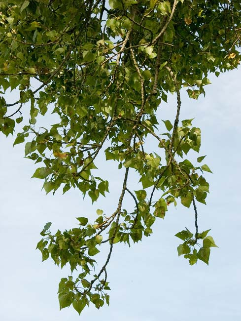 032b black poplar leaves