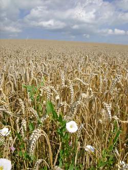 013 wheat