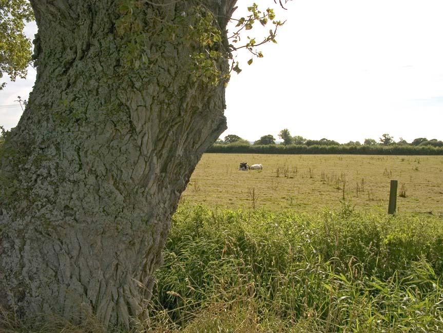 032a black poplar trunk