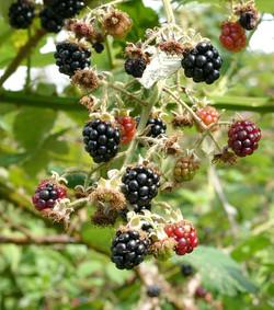 010 blackberries