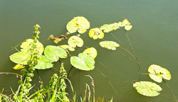 038 lily pads