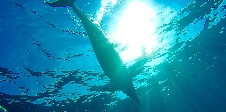 海中をイルカが泳ぐ姿