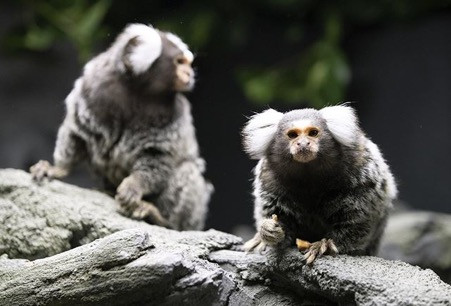 Marmosets in St Andrews Aquarium