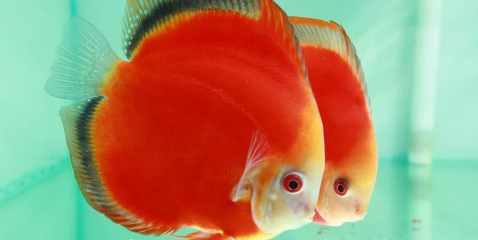 Discus fish uncle sam 39 s discus buy discus fish online for Live discus fish for sale