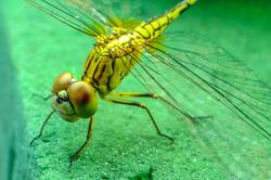 dragonfly-1644615_1920