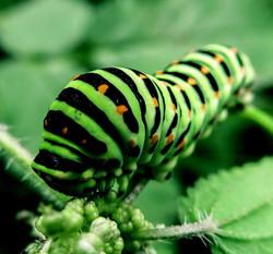 caterpillar-991433_1920_edited