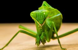 praying-mantis-190168_1920
