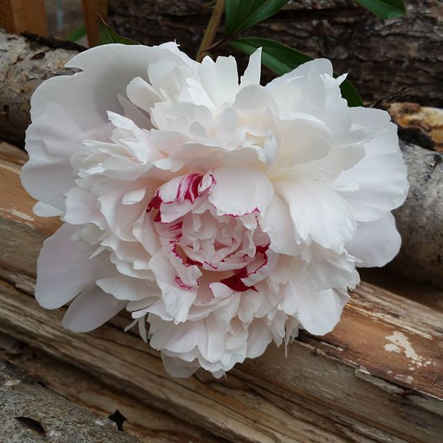 Pioneer Peonies wishes everyone a very M