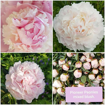Pioneer Peonies offers mixed blush peoni