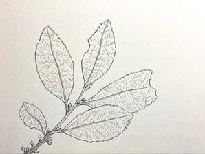 DAY 61 Eurya japonica