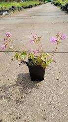 Geranium cantabrigiense 'Karmina'