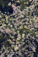 Aster ericoides 'Golden Spray'