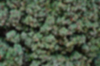 Taxus bacata 'Fastigiata'