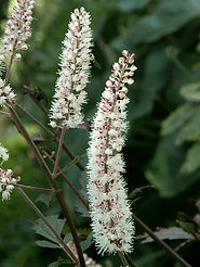 Actaea simplex 'Atropurpurea'