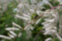 Tamarix ramosissima 'Pink Cascade'