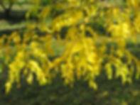 Gleditsia triacanthos 'Inermis'