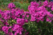 Phlox paniculata 'Cardinal'