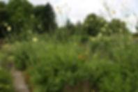 Cephalaria gigantea