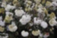 Viburnum 'Eskimo'