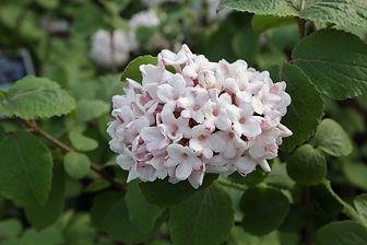Viburnum carlesii 'Aurora'