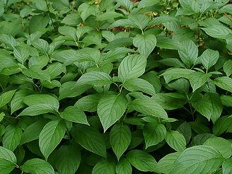 Cornus sericea 'Flaviramea'