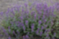 Nepeta racemosa 'Grog'