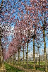 Prunus sargentii 'Rancho'
