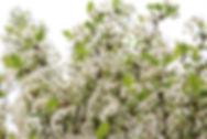 Prunus eminens 'Umbraculifera'