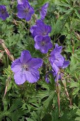 Geranium x johnsonii 'Johnson Blue'