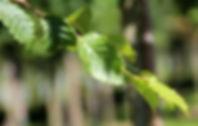 Carpinus betulus ''Frans Fontaine''