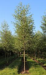 Alnus glutinosa 'Laciniata'