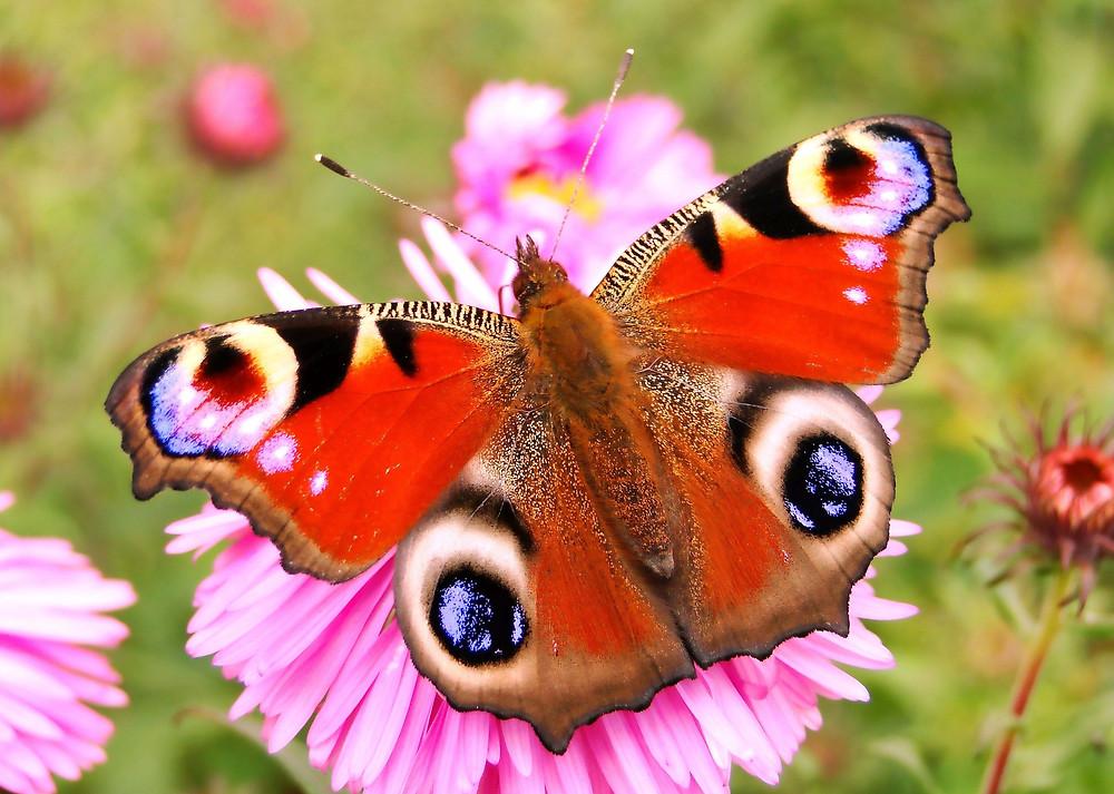 Vlinderstruikem