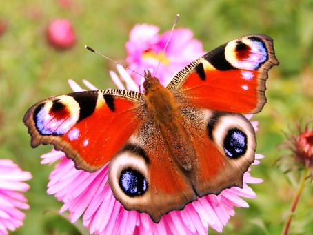 Bijen en vlinderstruikem, een genot voor het oog!