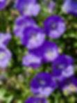 Campanula carpartica 'Blue Clips'