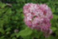 Hydrangea arborscens 'Pink Annabelle'