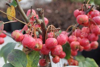 Malus x robusta 'Red Sentinel'