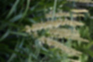 Liriope muscari 'Alba'