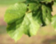 Tilia tomentosa 'Brabant'