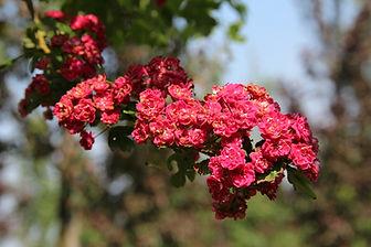 Crataegus laevigata 'Paul's scarlet'