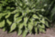 Hosta undulata 'Albomarginata'