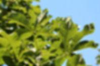 Aesculus carnea 'Briotii'