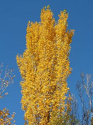 Populus alba