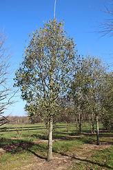 Quercus x turneri 'Pseudoturneri'