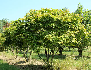 Acer palmatum 'Ōsakazuki'
