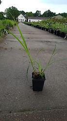 Miscanthus sinensis 'Malepartus'