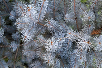 Picea pungens (Glauca group) 'Koster'