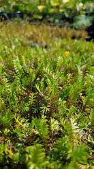 Leptinella squalida